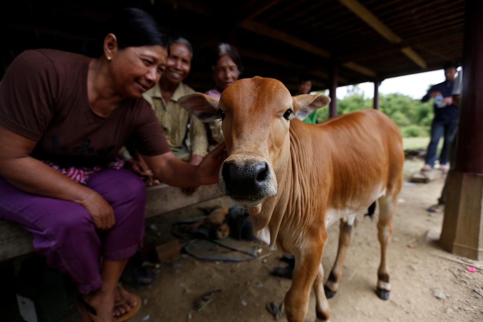 Cambodia calf reincarnation husband