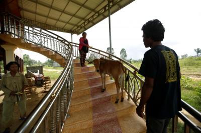 cambodia calf