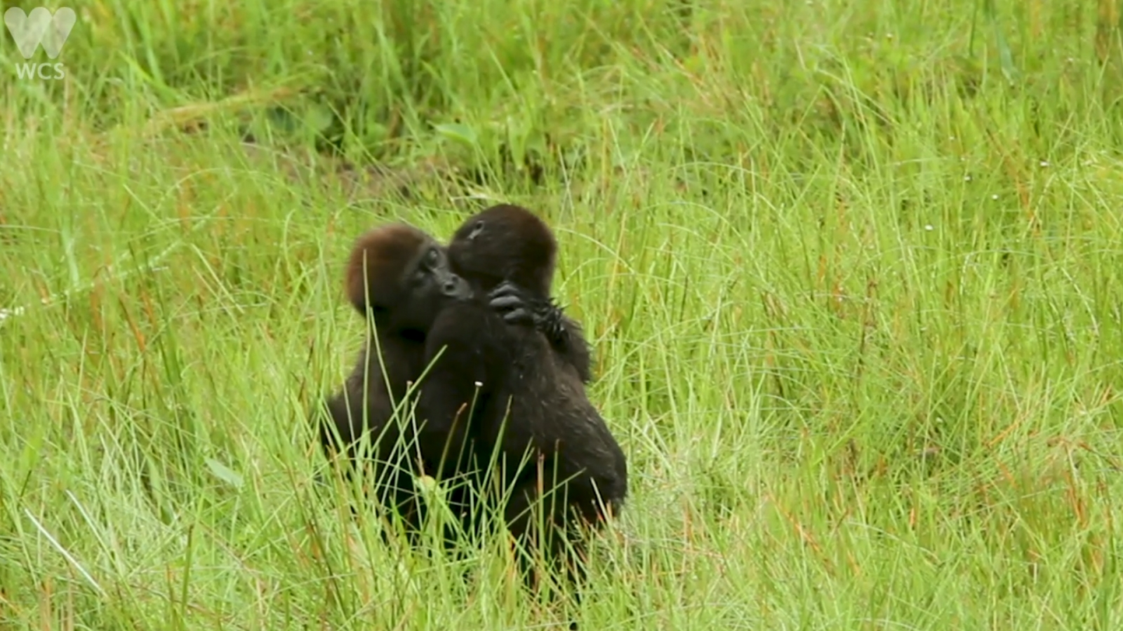 young-gorillas-captured-on-in-tender-embrace