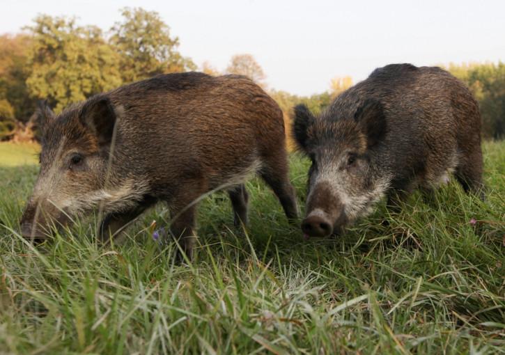 Watch video: Massive hog weighing 700 pounds seen roaming Alabama neighbourhood