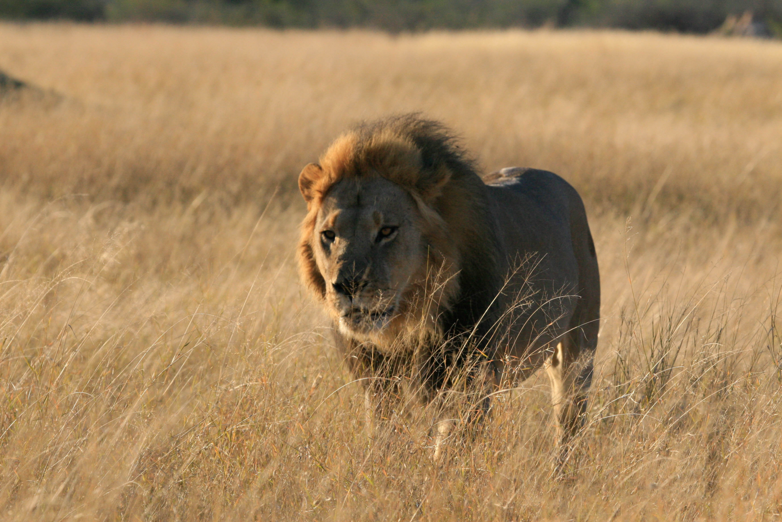 Poacher hunted and eaten by pride of lions that left only his head behind