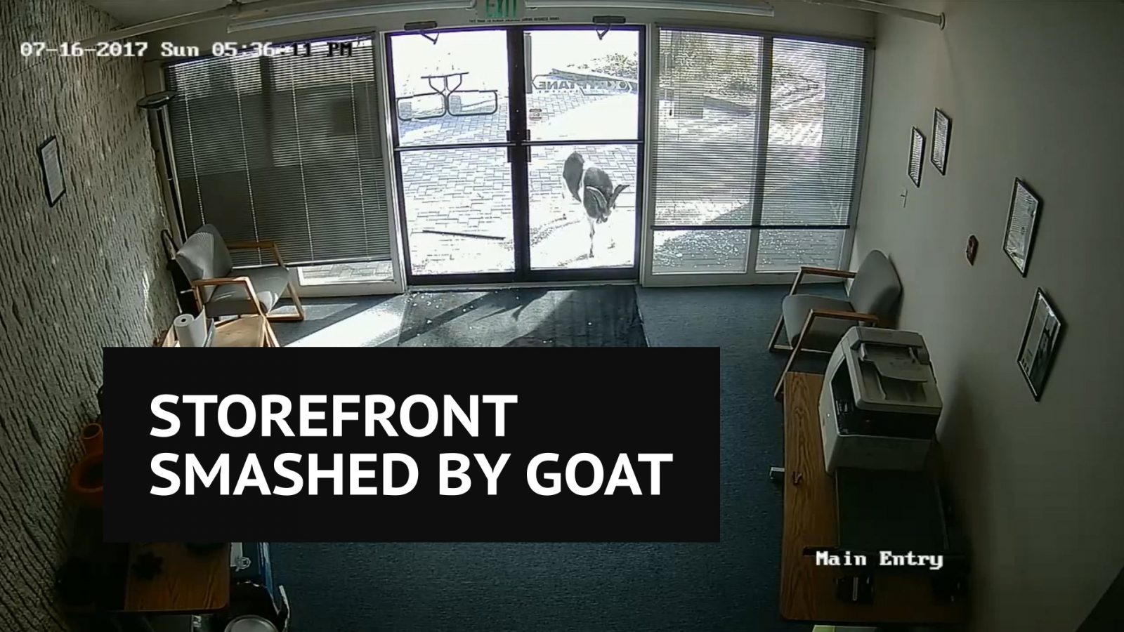 Hilarious video shows goat attacking storefront with vengeance