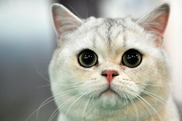 Stubbs, honorary feline mayor of Alaskan town