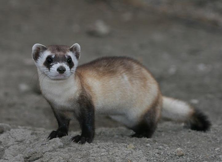 Black-footed ferret