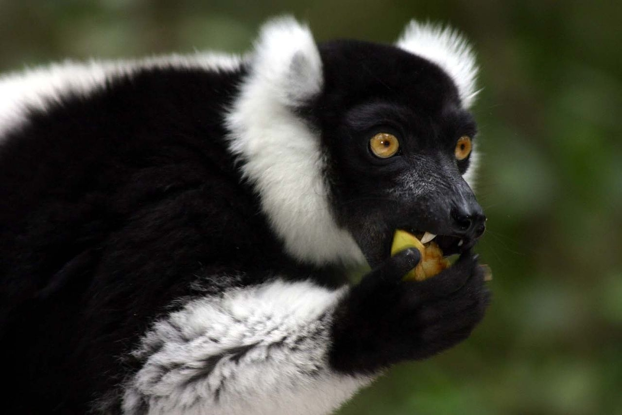 Black-and-White-Belted Ruffed Lemurs