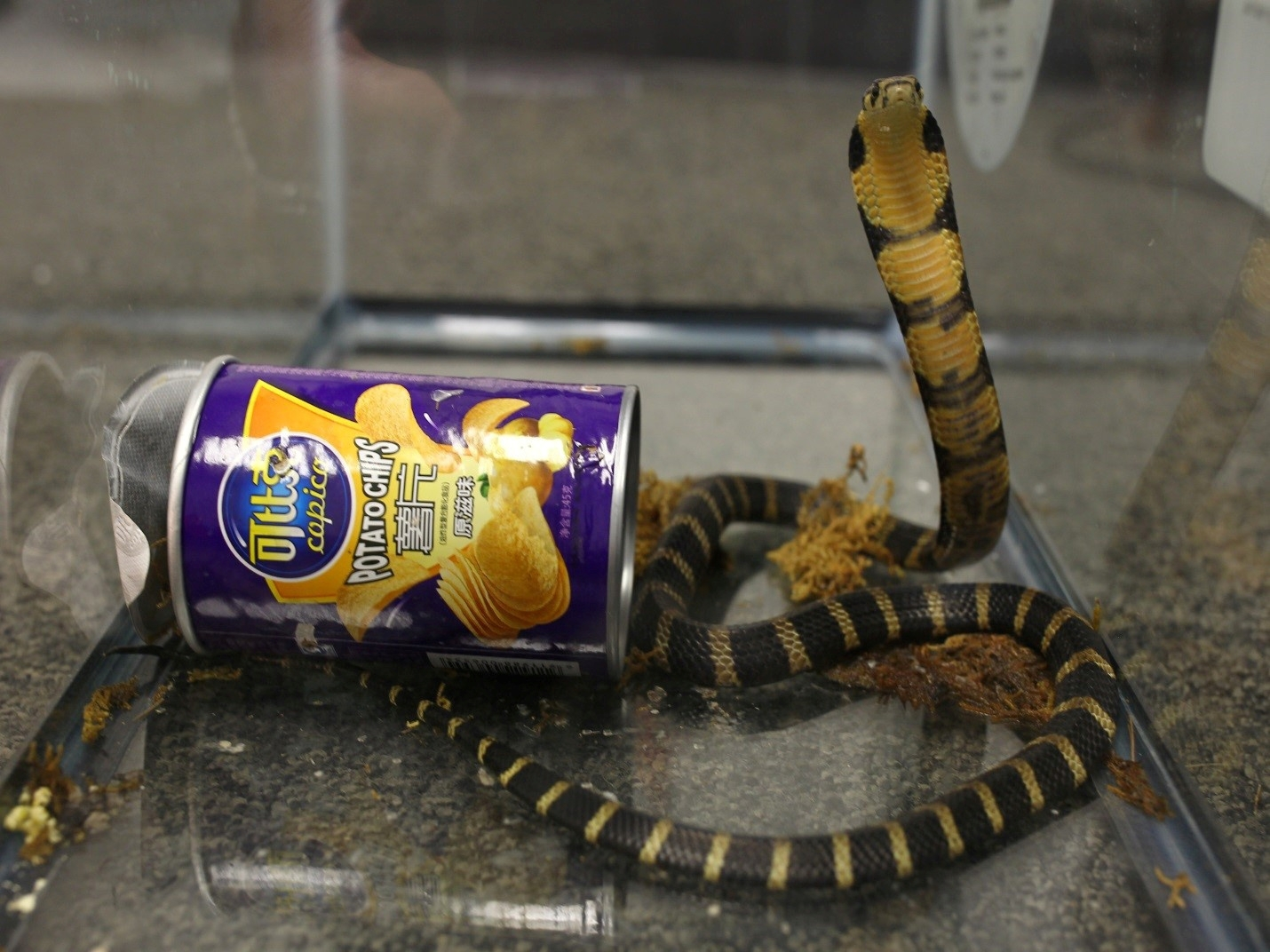 Cobra in chips can