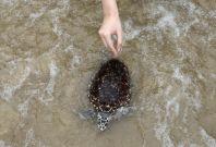 Thai turtles
