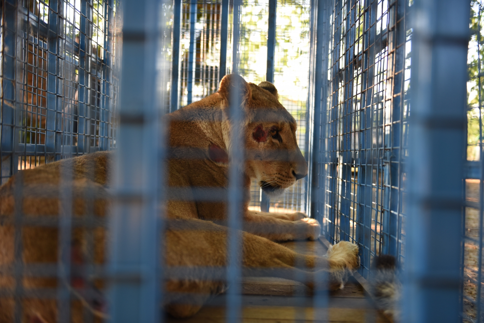 Animals rescued from war-torn amusement park in Aleppo reach temporary home