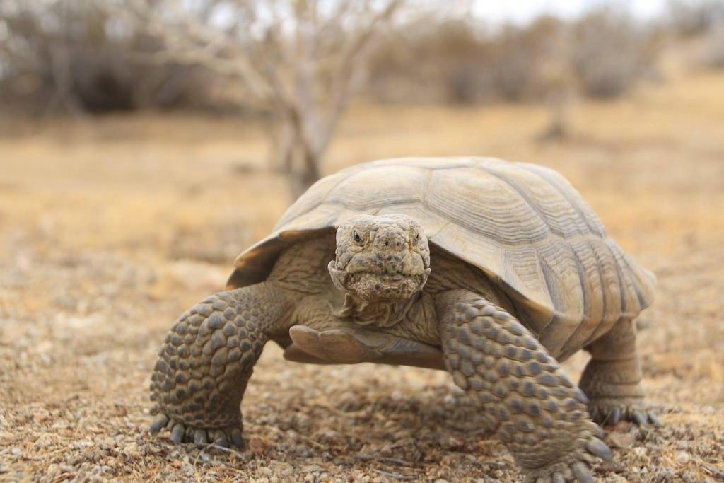 Missing 115 Year Old Tortoise Diablo Returns Home