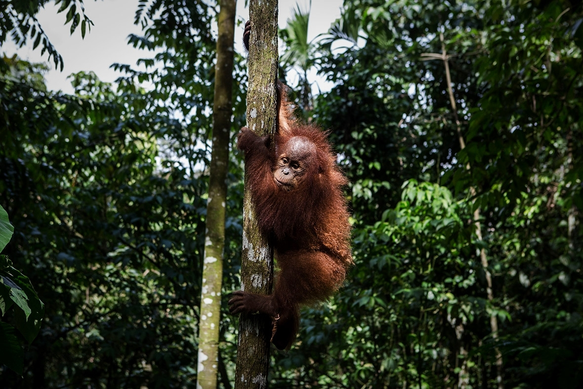 Men arrested for beheading orangutan claim self-defence