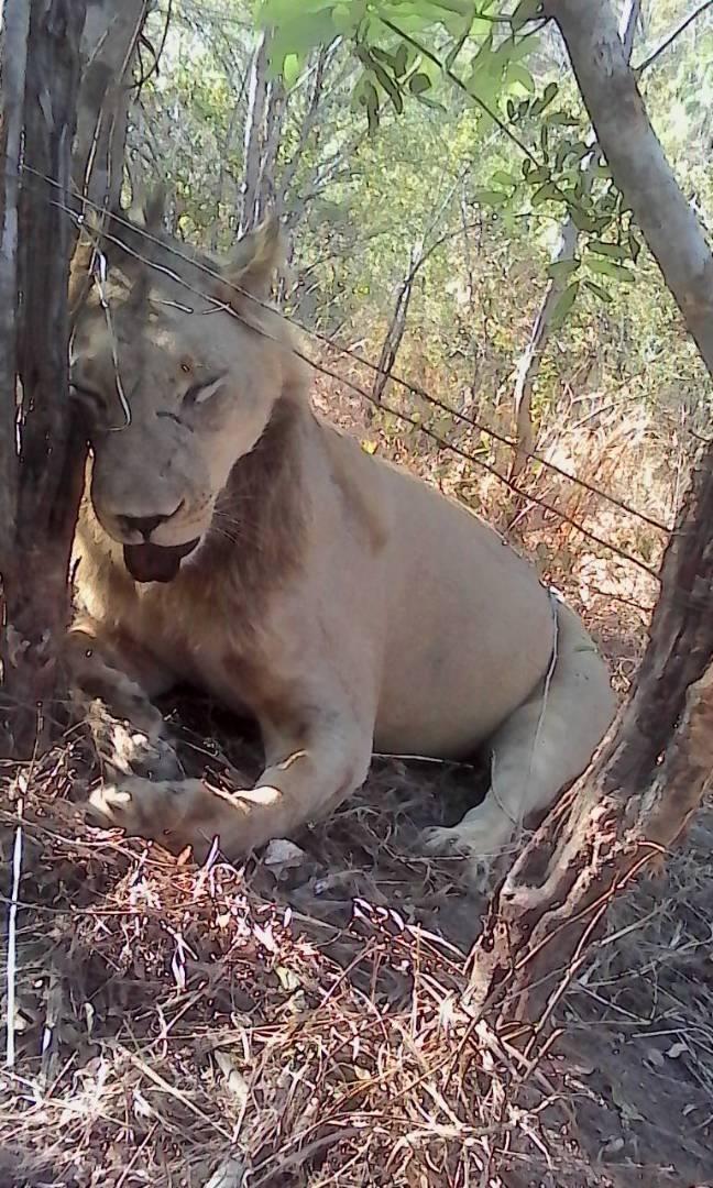 Kariba lion