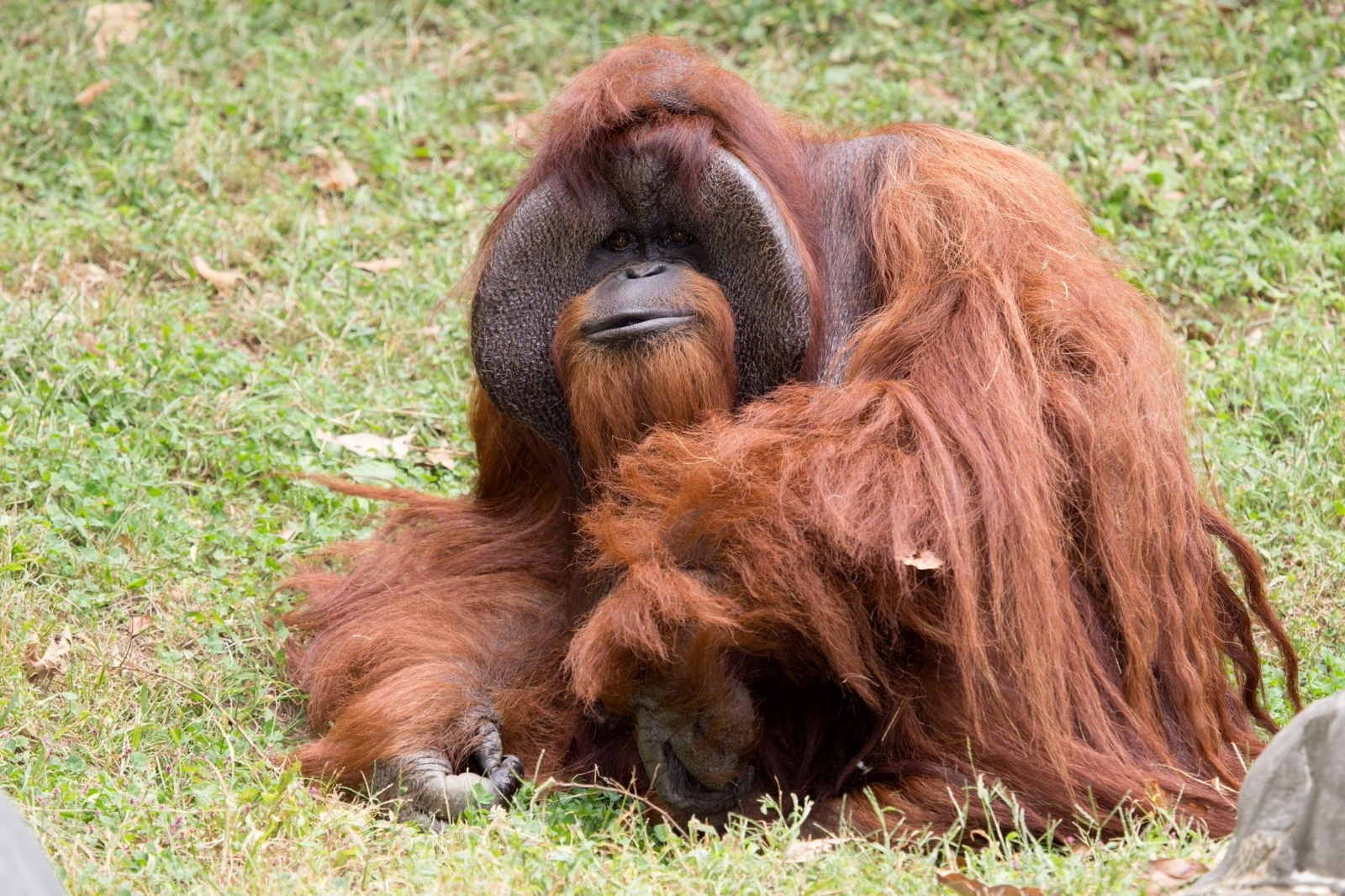 Orangutan Chantek, 'the ape who went to college', is dead
