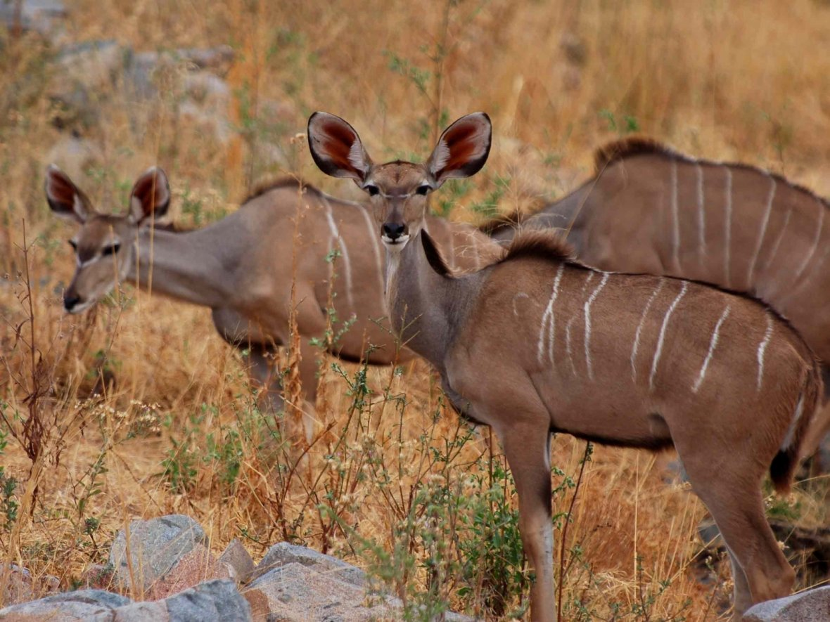 dancing kudu