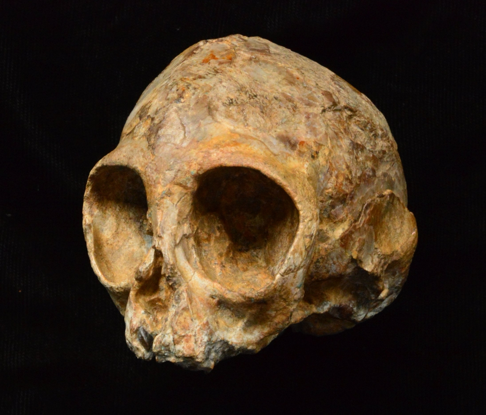 Infant ape fossil skull illuminates humankind's remote past