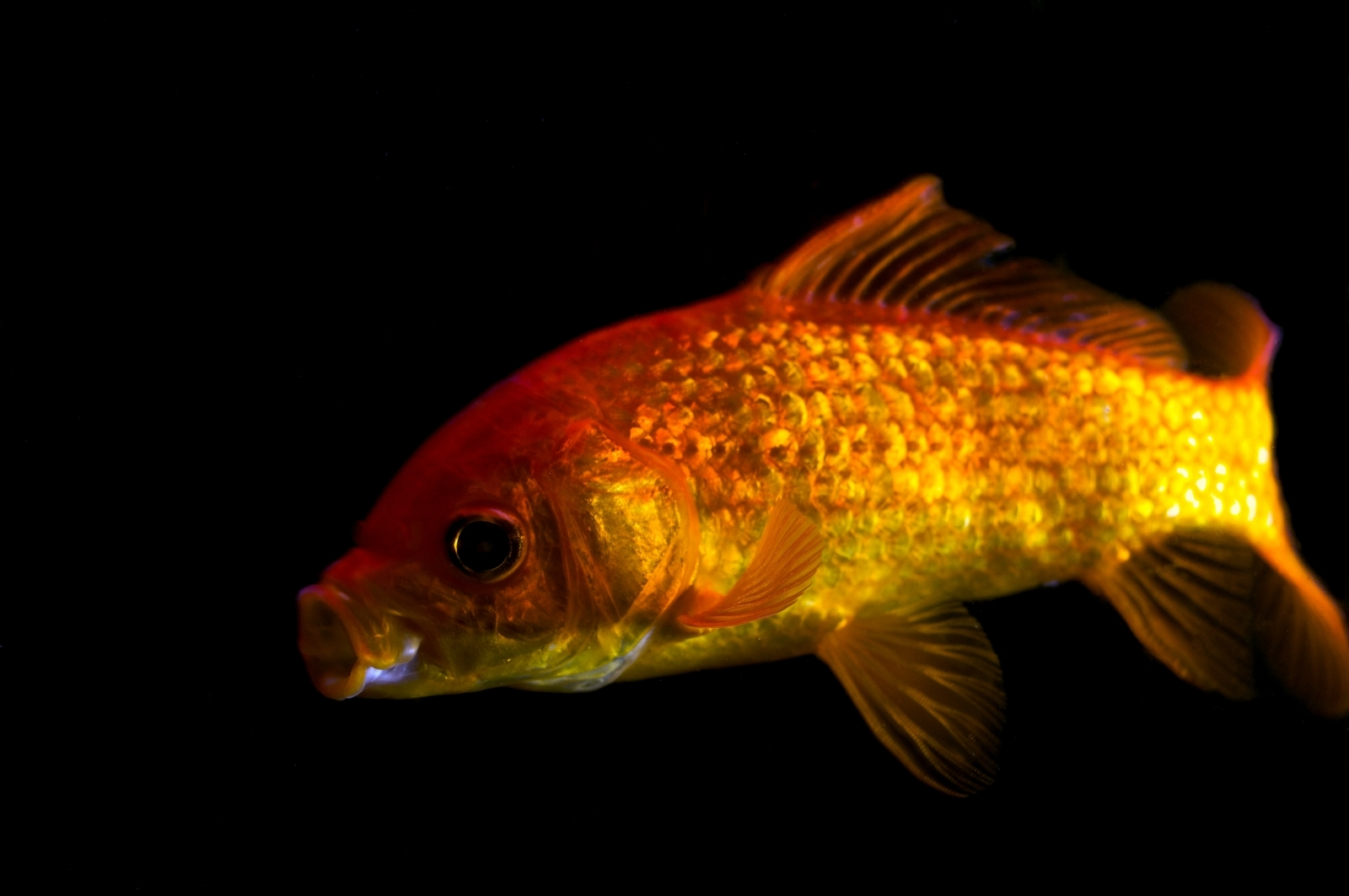 Goldfish Depend On Booze To Survive in Frozen Water