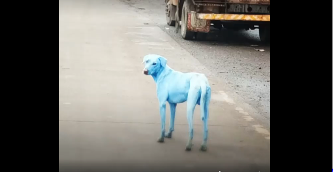 Dogs turning blue