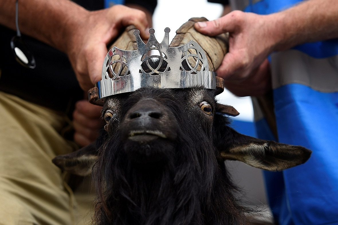 Puck Fair goat Ireland