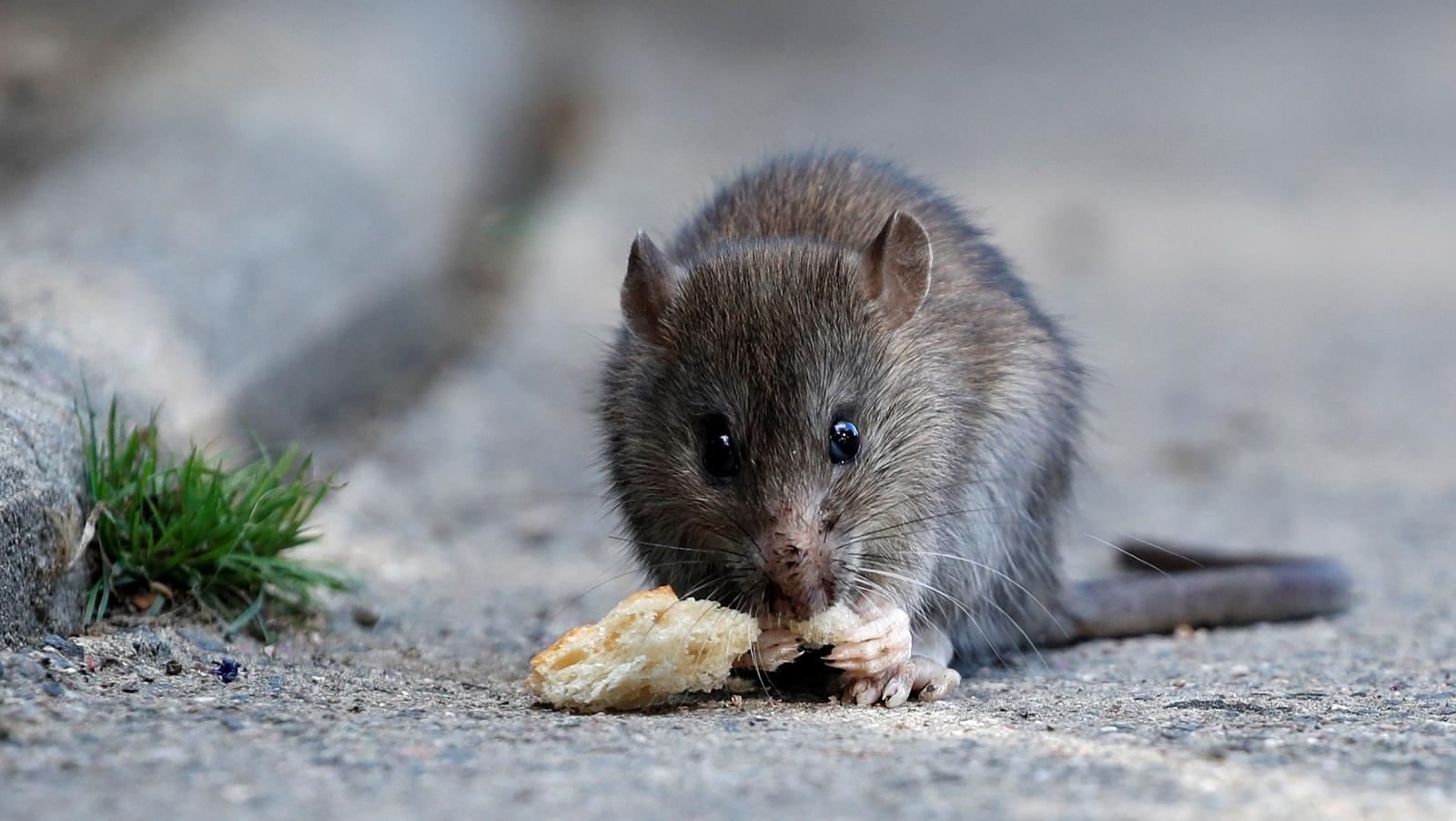 Rat eating