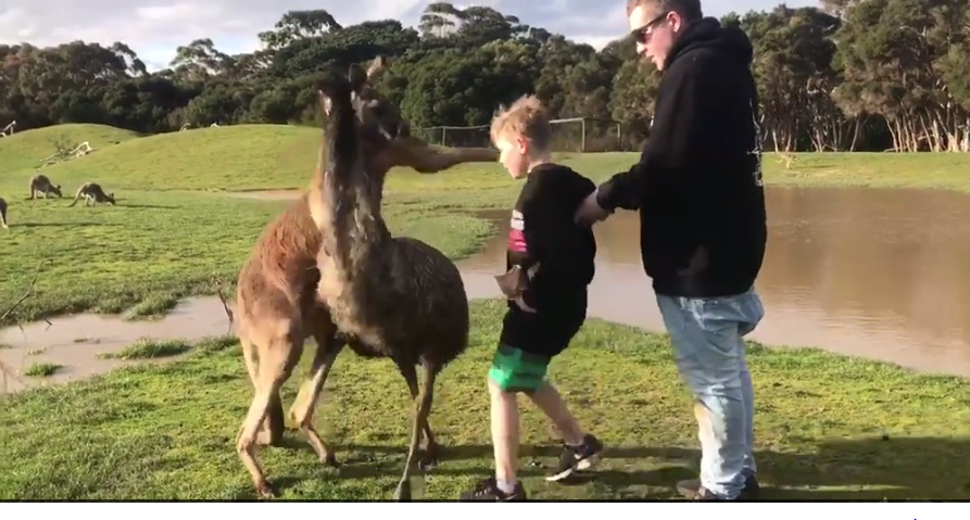 kangaroo punches young boy in face