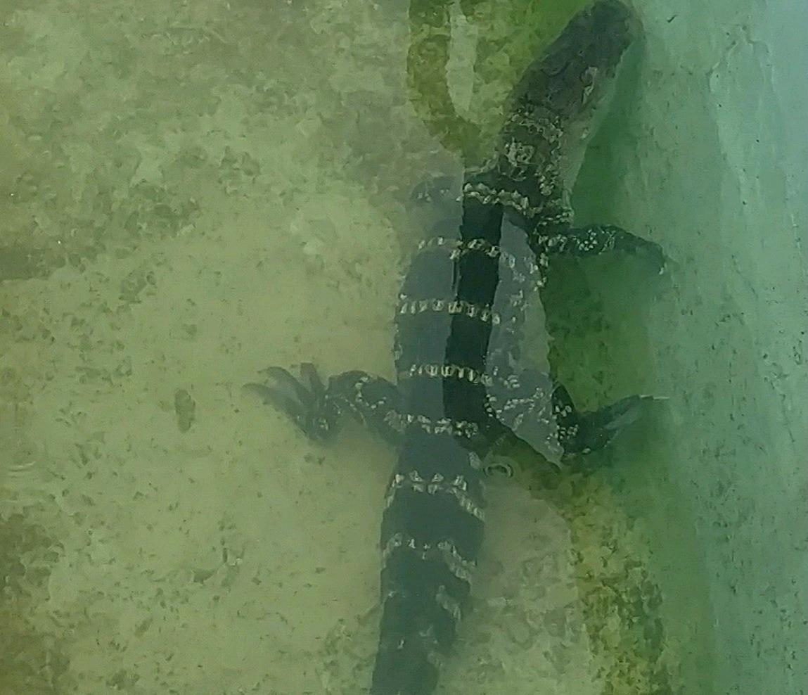 Alligator in Atlantic City motel pool