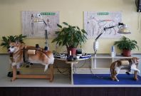 acupuncture cats dogs china