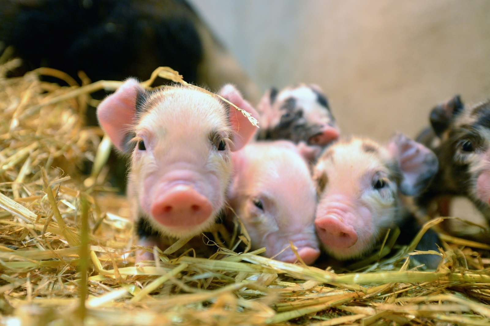 Firefighters eat sausages made from piglets they saved from fire