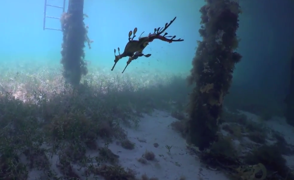 Weedy seadragons filmed having sex for the first time