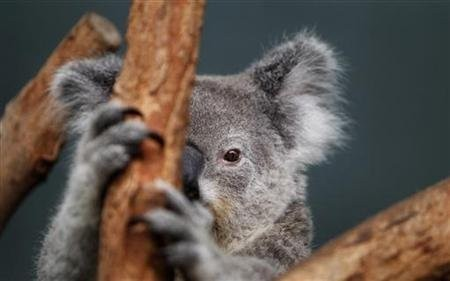 Koalas hug trees to cool down