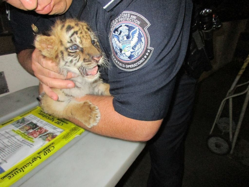 Perris man charged with smuggling tiger into the United States