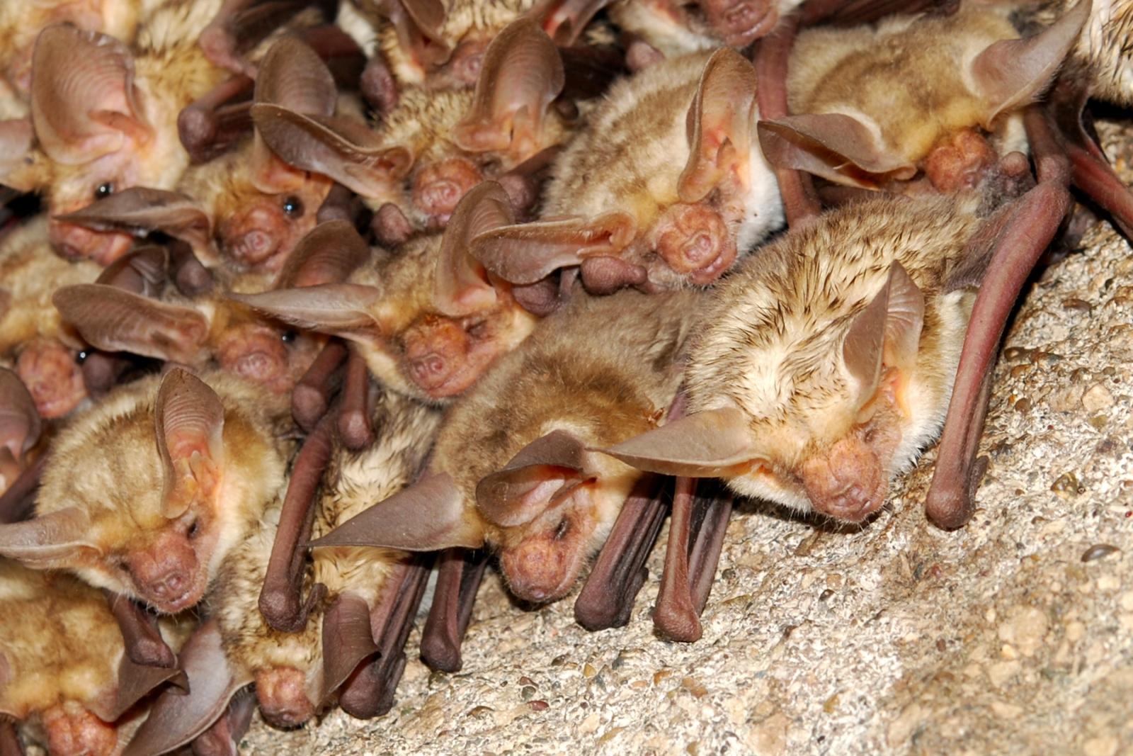 Pallid bats