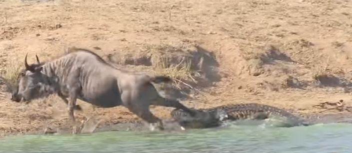 Wildebeest rescue by hippos
