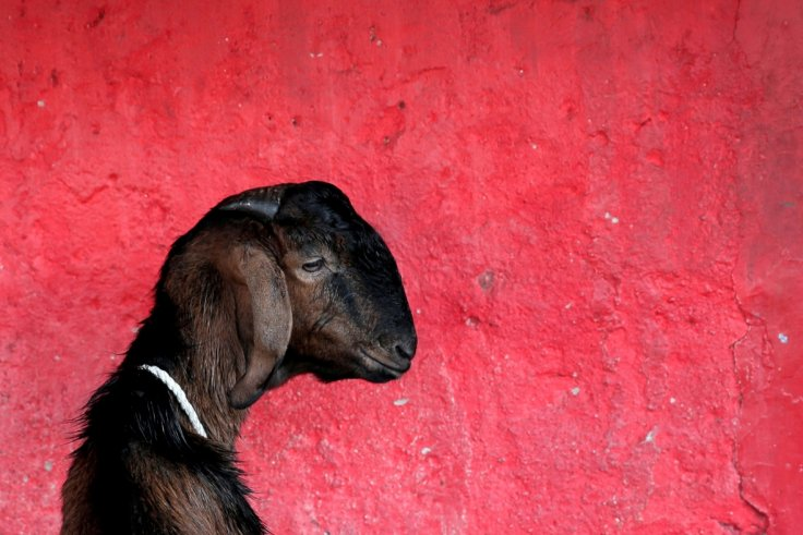 Man arrested for 'raping his mother's goats to death over two hours'