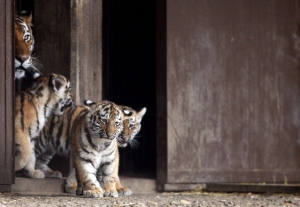 Tiger cubs are accompanied by their mother as they explore their outdoor in Cologne Zoo