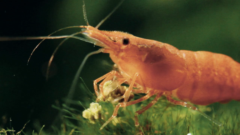 Female prawns have their eyes cut out so they can breed quicker