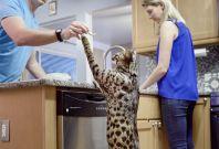 Arcturus tallest cat