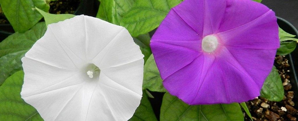 CRISPR flower colour changed