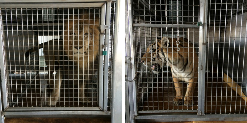 Tigers and lions in Arkansas barn