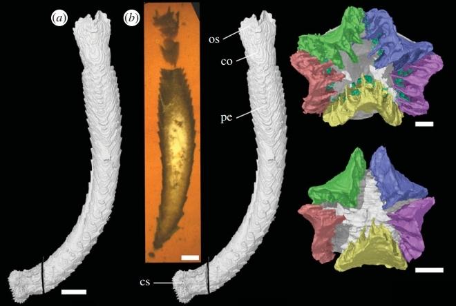 Starfish ancestor
