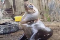Sea Lion tied to tree
