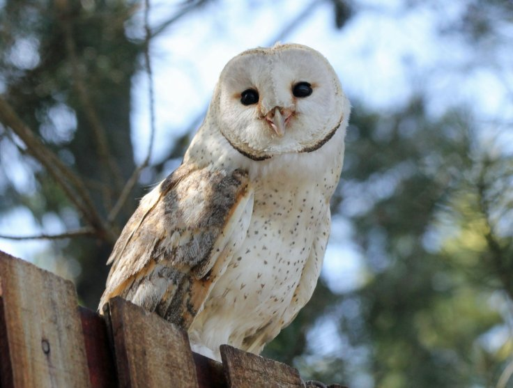 Barn owls have ears that don't age
