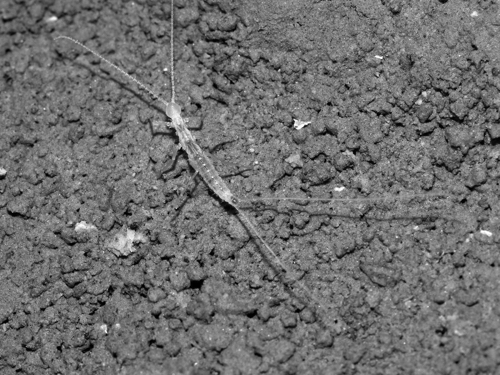Turkmenocampa mirabilis
