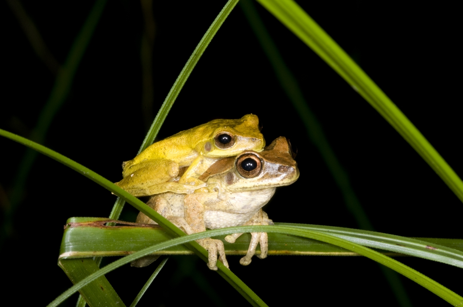 Males from hundreds of frog species change colour to attract the opposite sex