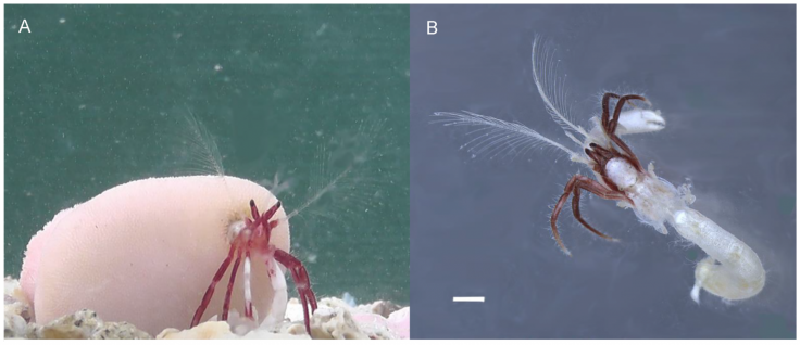 Newly discovered hermit crab species carries around a giant coral house that grows around it