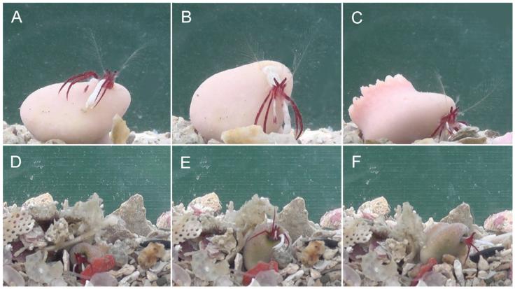 New hermit crab species