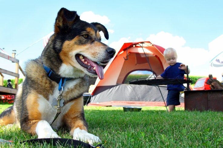 Camping dogs