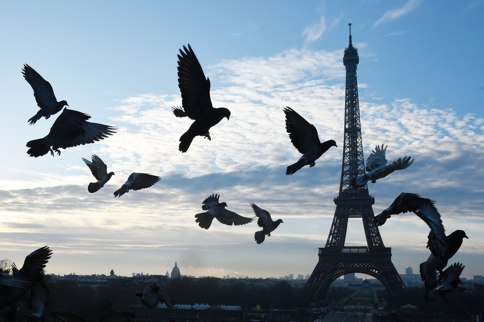 Pigeons fly in front of Eiffel Tower