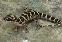 Cyrtodactylus sp.