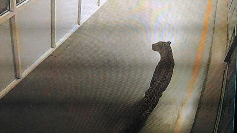 A leopard caught on CCTV camera at Maruti Suzuki's Manesar factory prowled the plant for 36 hours