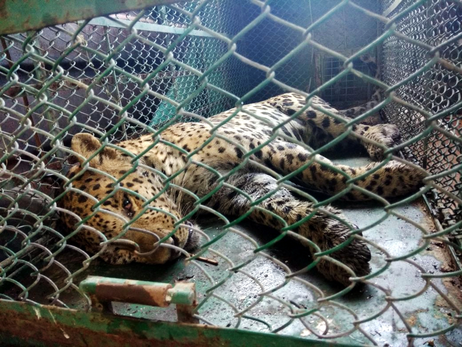 The captured leopard lies sedated inside a cage after being after being tracked down inside the Maruti Suzuki plant in Manesar town by police and wildlife rescuers