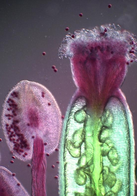 Доктор Нурія Андрес-Колас, Гентський університет, Лабораторія функціональної біології рослин, Біологічний факультет, Гент, Бельгія: ЧОЛОВІЧІ ЖІНОЧІ РЕПРОДУКТИВНІ ОРГАНИ ARABIDOPSIS THALIANA (КВІТУЧА РОСЛИНА).